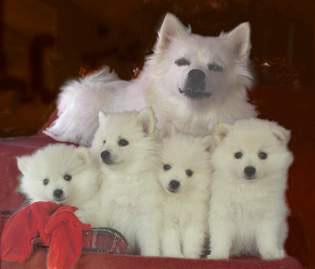 American Eskimo Dog History