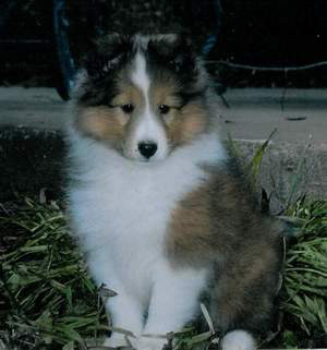 Sheltie Puppies on Chekia Shetland Sheepdog Puppies